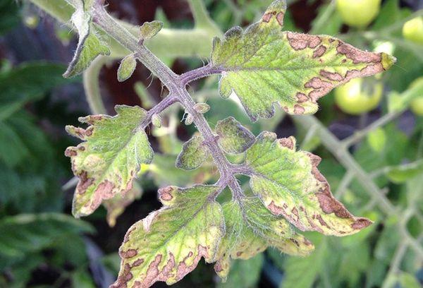 Засохшие листья томата
