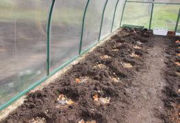 Лунки с органическим удобрением в теплице