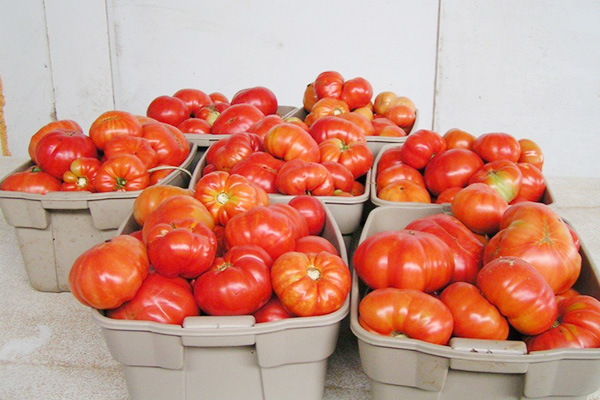 Урожай томатов Буденовка
