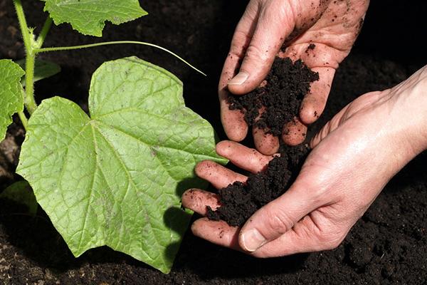 Выращивание огурцов на черноземе