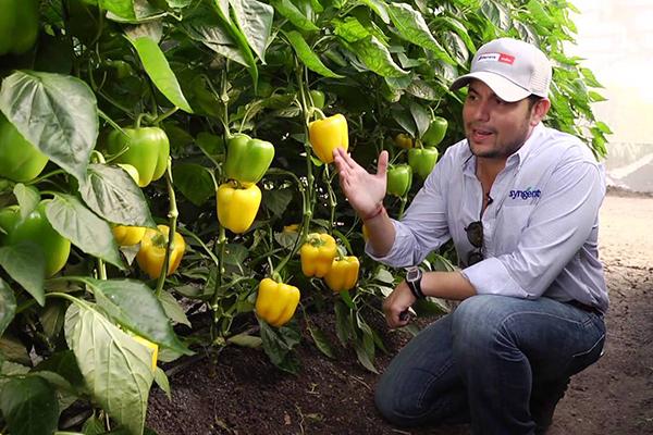 Выращивание перцев на юге