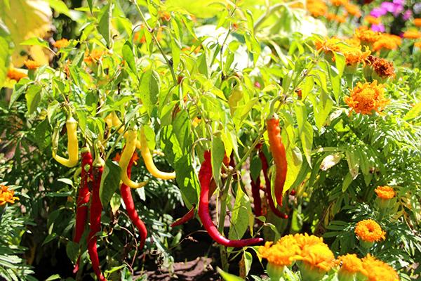 выращивание перца Бараний рог