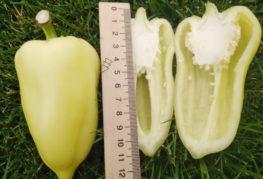 Плод перца Белозерка в разрезе