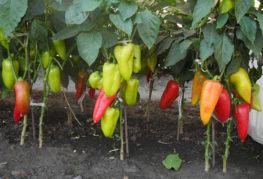 Выращивание перца Купец