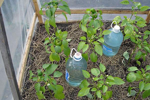 Вода для полива перцев в теплице