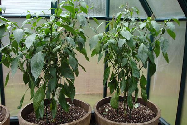 Выращивание перца халапеньо в теплице