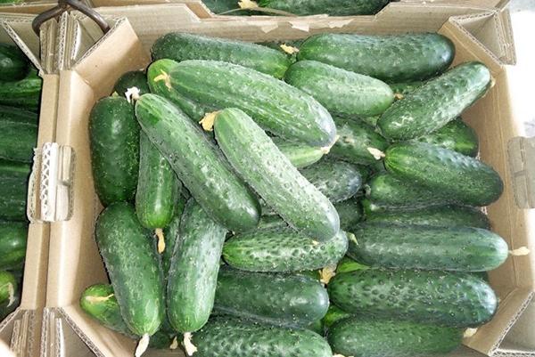 Урожай огурцов Паратунка