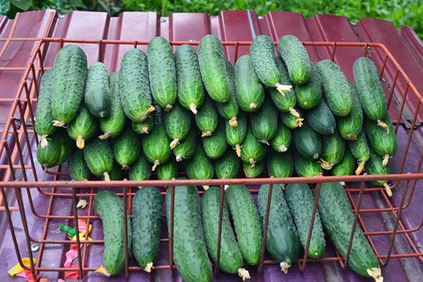 Плоды огурцов Паратунка