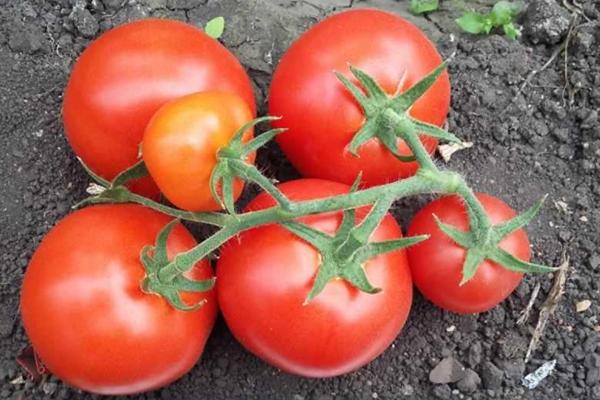 Кисть томатов сорта Любаша