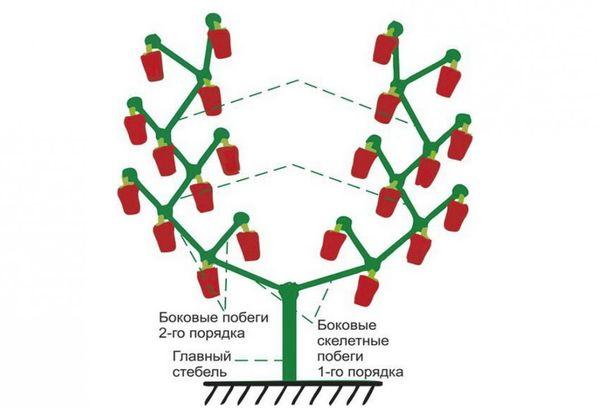 Схема метода формирования куста перца в два стебля