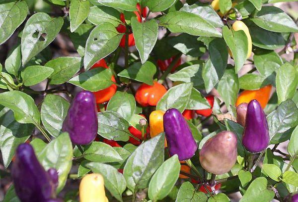 Цветной декоративный перец