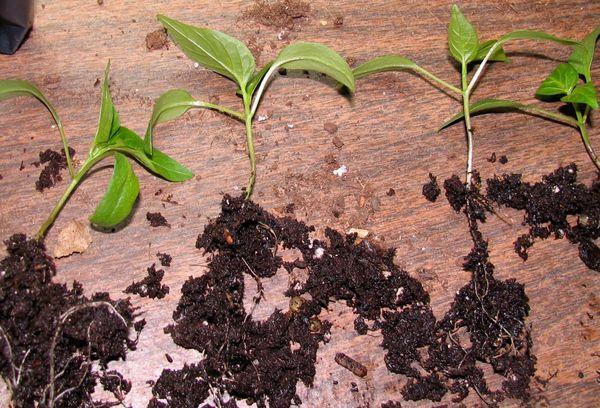 Ростки перца с корнями