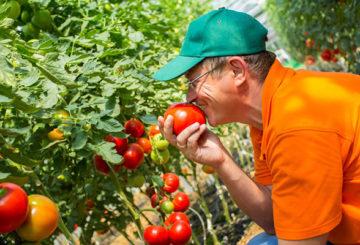 Агроном с томатами
