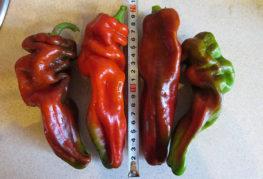 Измерение длины плодов перца Рамиро