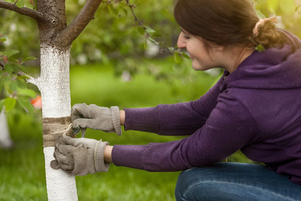 Женщина делает ловчий пояс для черешни