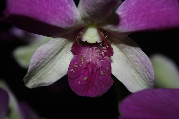 Тля на цветке орхидеи