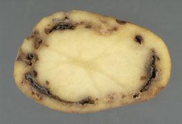 Пораженный антракнозом картофель