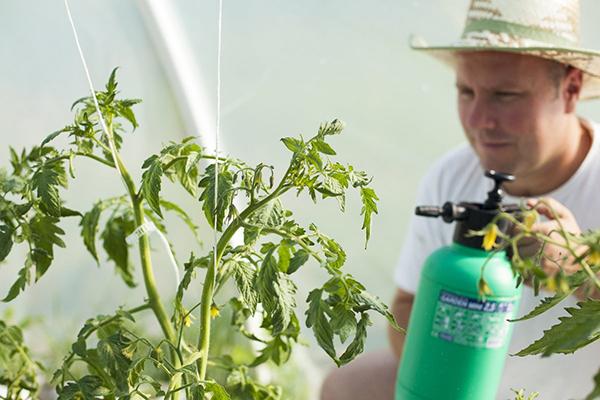 Опрыскивание томата в теплице