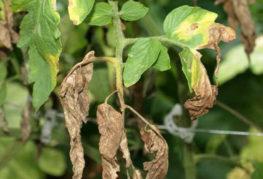 Характерные признаки фузариозного увядания томата