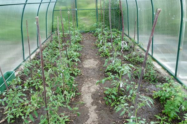 Сырость в теплице с томатами