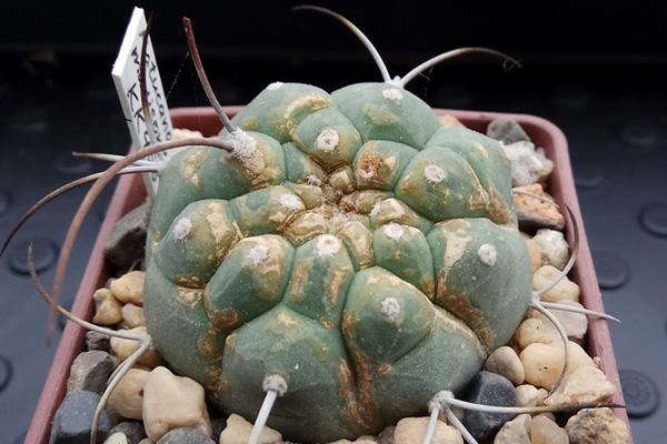 Симптомы поражения кактуса клещом