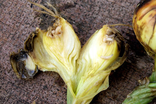 Луковица, поврежденная личинками луковой мухи