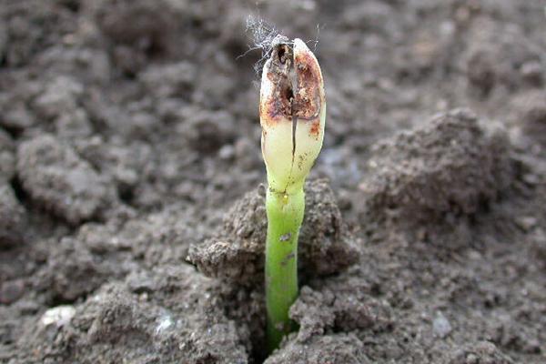 Росток фасоли, поврежденный ростковой мухой
