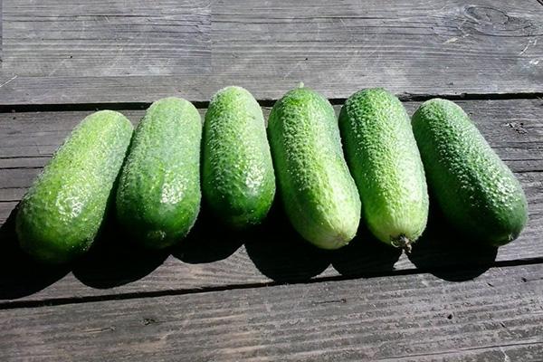 Плоды огурцов Адам F1
