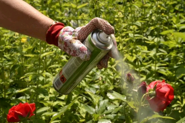 Обработка роз инсектицидом