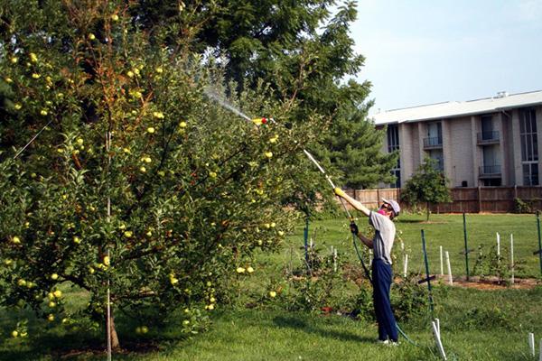Дождевание кроны яблони