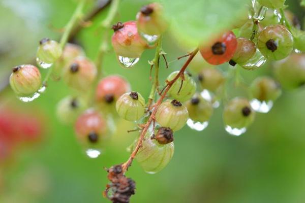 Смородина под дождем