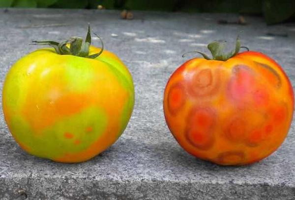 Проявления мозаики на плодах томата