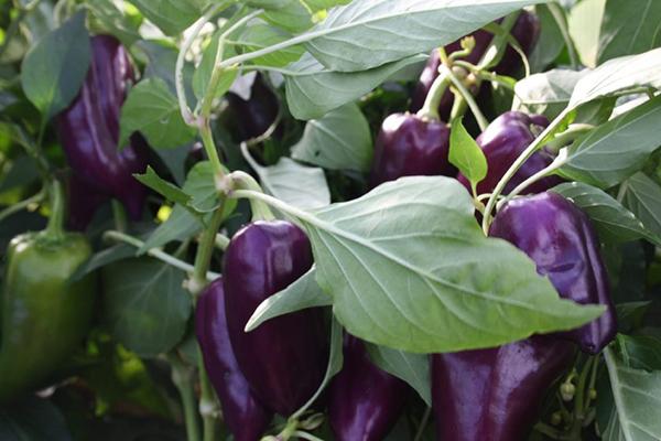 Выращивание фиолетового болгарского перца