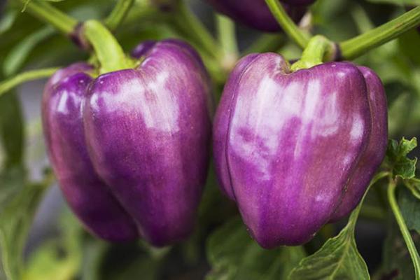 Фиолетовые болгарские перчики