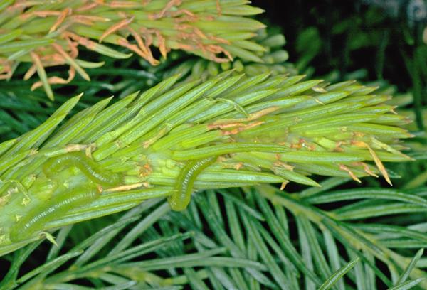 Еловый обыкновенный пилильщик - гусеницы