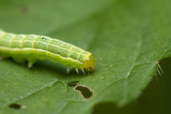 Гусеница на листе