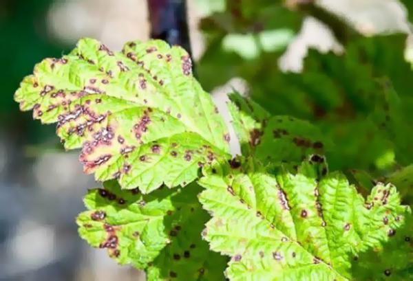 Признаки септориоза на листьях