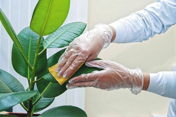 Протирание листьев фикуса