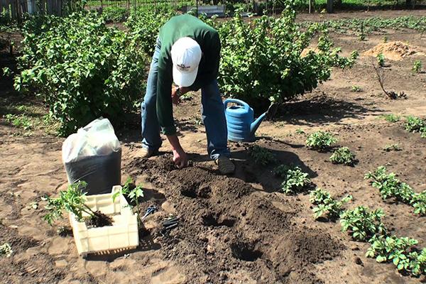Высадка помидоров в открытый грунт