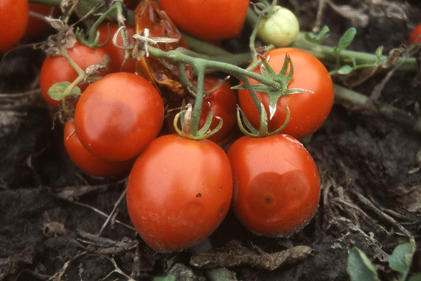 Кисть томата, пораженная антракнозом
