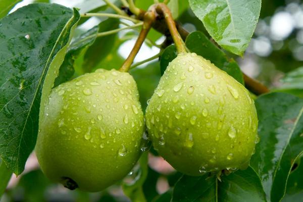 Груши после дождя