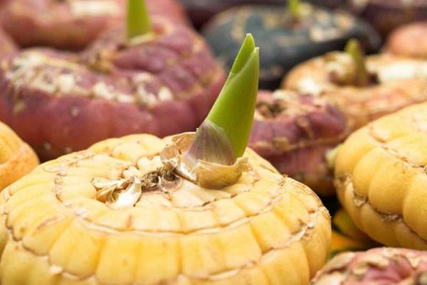 Проросшая луковица гладиолуса