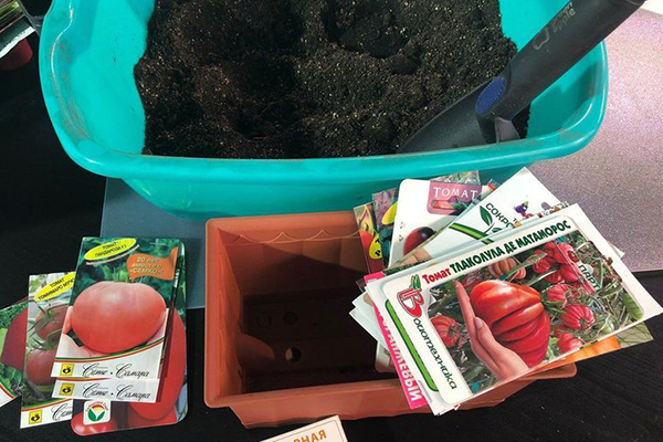 Семена помидоров перед посадкой на рассаду