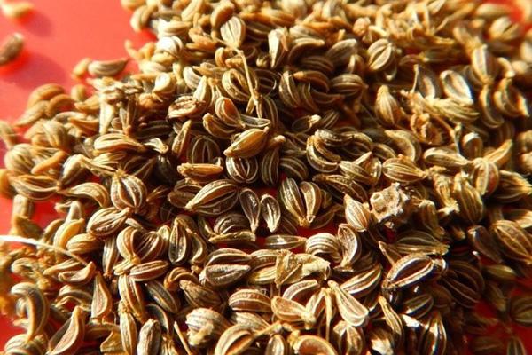 Набухшие семена петрушки