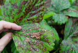 Проявления антракноза на листьях клубники