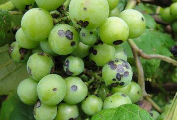 Проявления антракноза на ягодах винограда