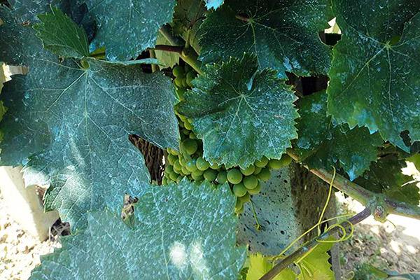 Виноград после опрыскивания бордосской жидкостью