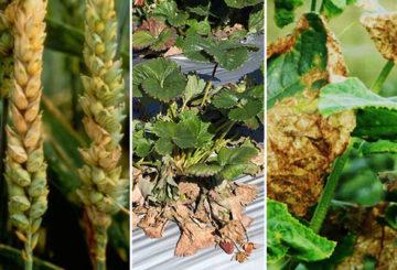Симптомы фузариоза на разных растениях