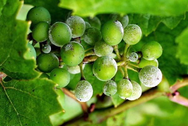 Кисть винограда, пораженная ложной мучнистой росой