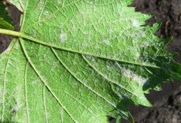 Симптомы милдью винограда
